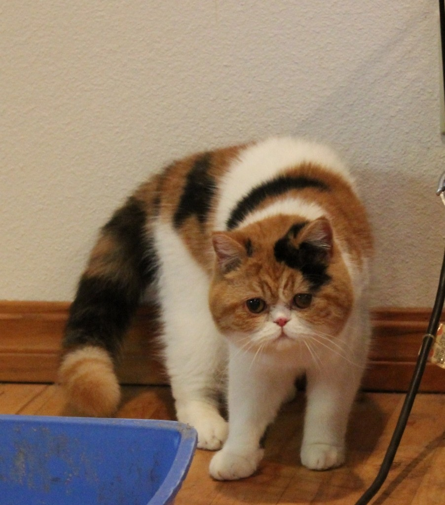 Exotic Shorthair Cats For Sale