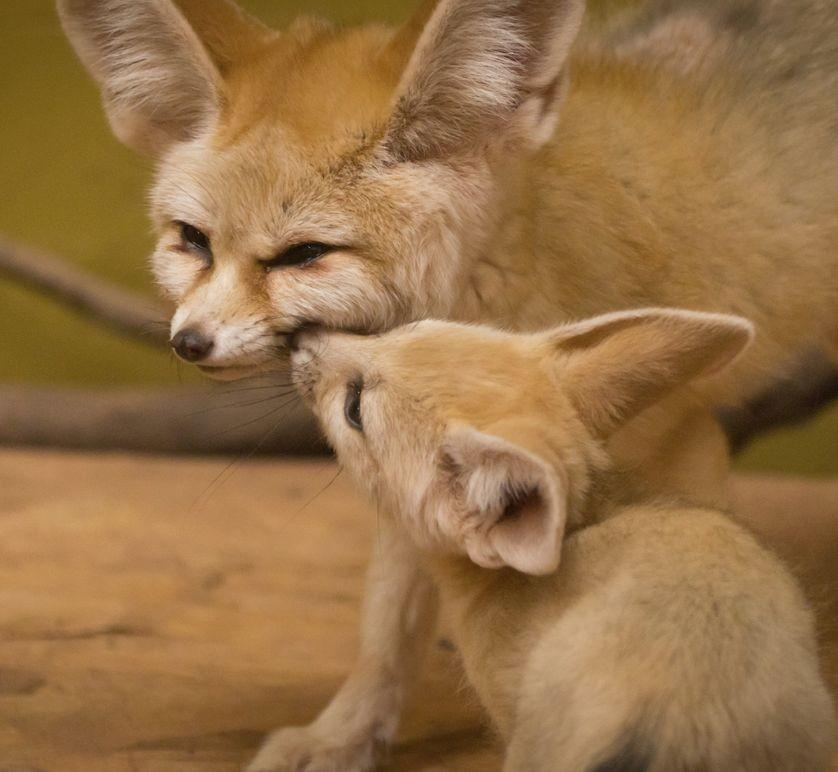 Fennec Fox Animals For Sale New York Ny 241756
