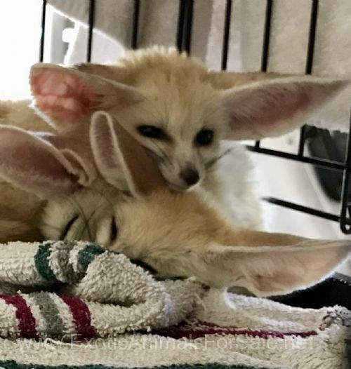 Fennec Fox For Sale In Orange County (13)