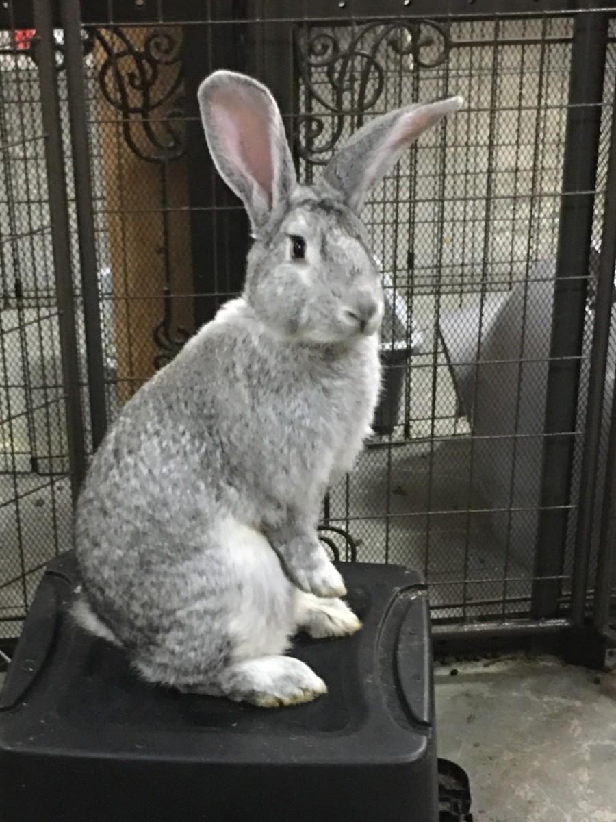 Pet Rabbit Breeds Flemish Giants