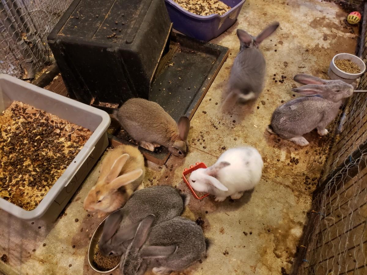 Flemish Giant Rabbits For Sale Fayetteville Ga 222932