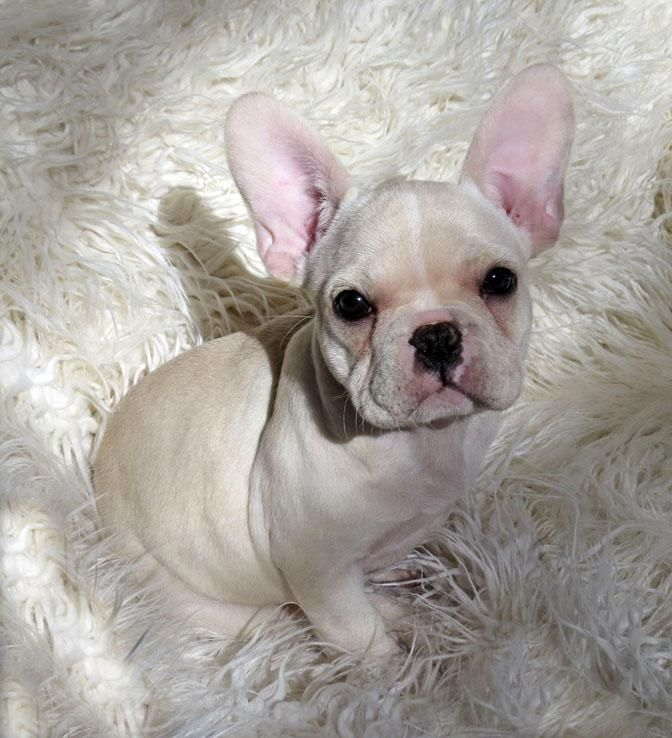 french bulldog puppies nc french bulldog puppies for sale charlotte nc 153560 8005
