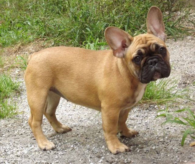 French Bulldog Puppies For Sale Ohio City Oh 187828