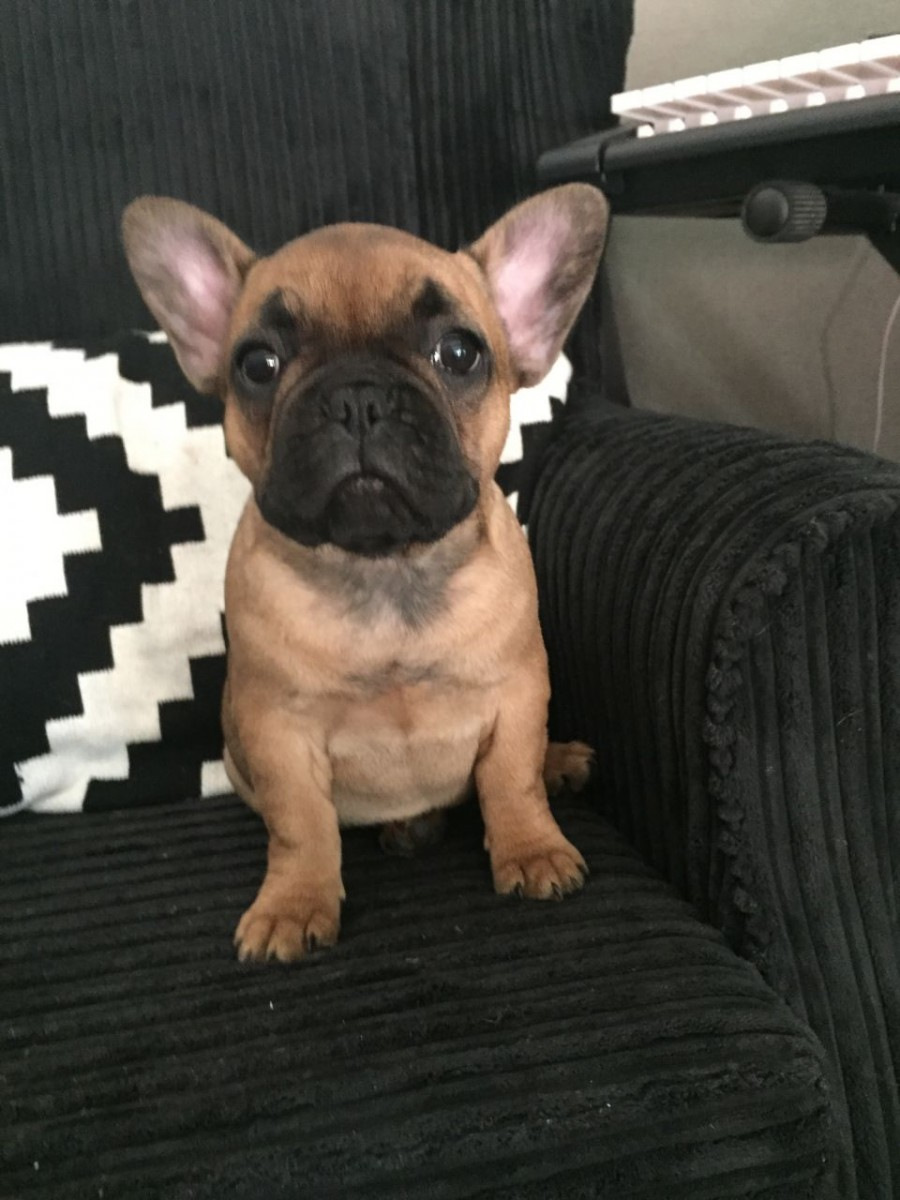 french bulldog puppies cincinnati french bulldog for sale in cincinnati 10 petzlover 7408