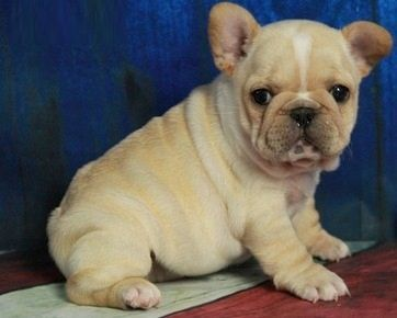 french bulldog for sale mn french bulldog puppies for sale rice mn 210396 4355