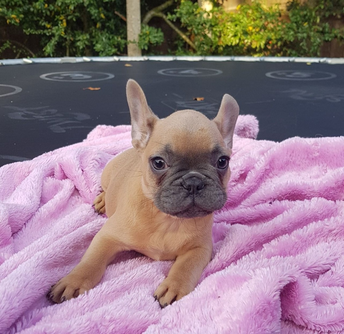 french bulldog utah french bulldog puppies for sale salt lake city ut 287545 6097