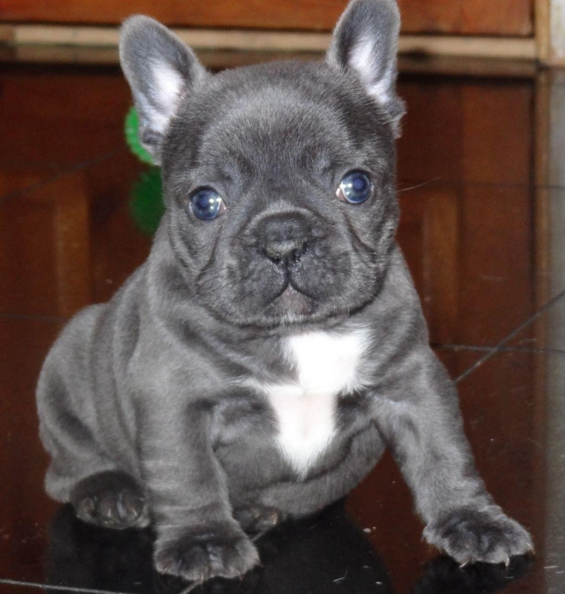 french bulldog for sale in texas french bulldog puppies for sale houston tx 287619 8079