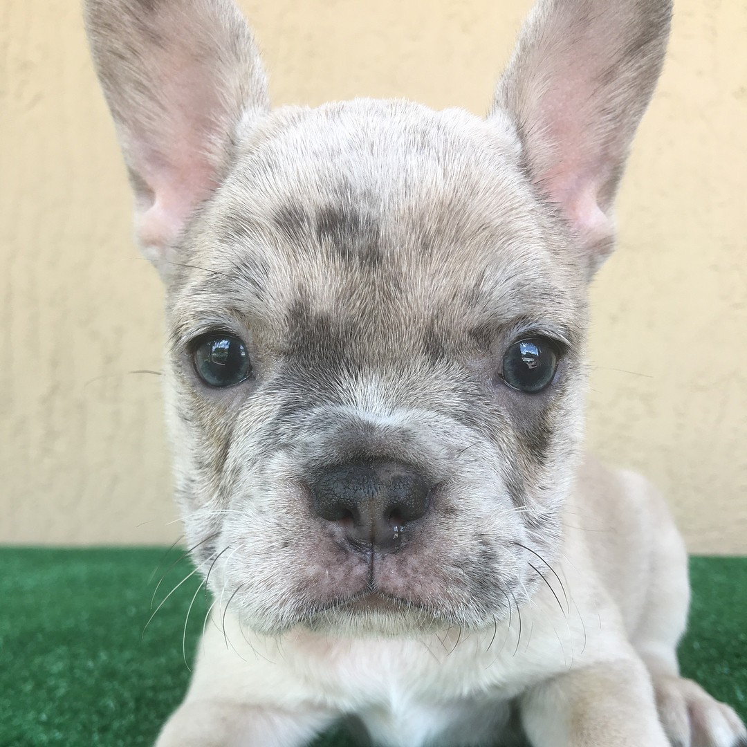 french bulldog for sale in texas french bulldog puppies for sale austin tx 287853 502
