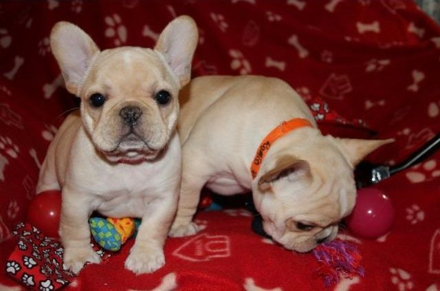 french bulldog rescue seattle french bulldog puppies for sale seattle wa 288364 7154
