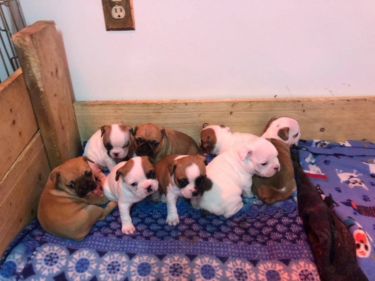 french bulldog maine french bulldog for sale in maine 36 petzlover 1178