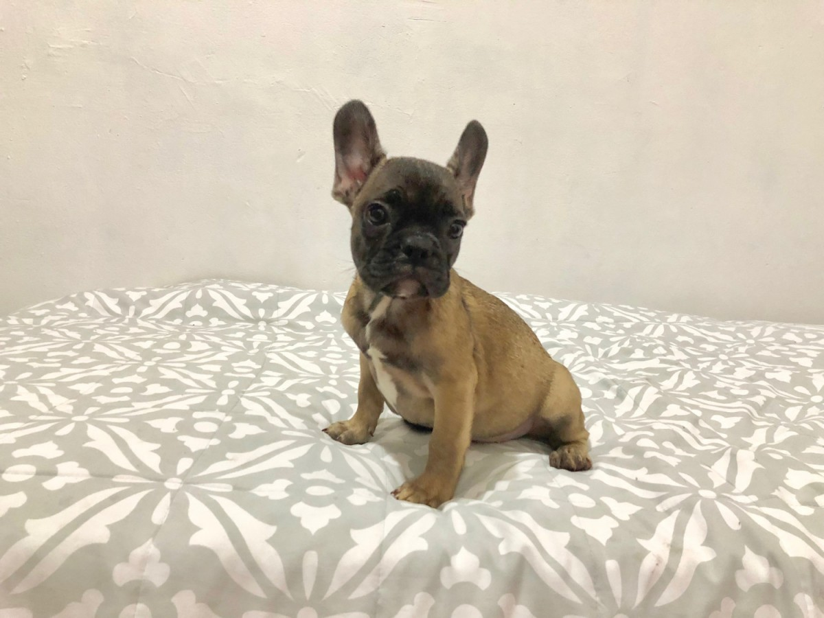 french bulldog puppies for sale ny french bulldog puppies for sale new york ny 289592 4689