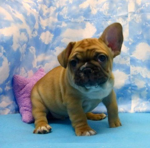 french bulldog for sale in texas french bulldog puppies for sale dallas tx 289779 416