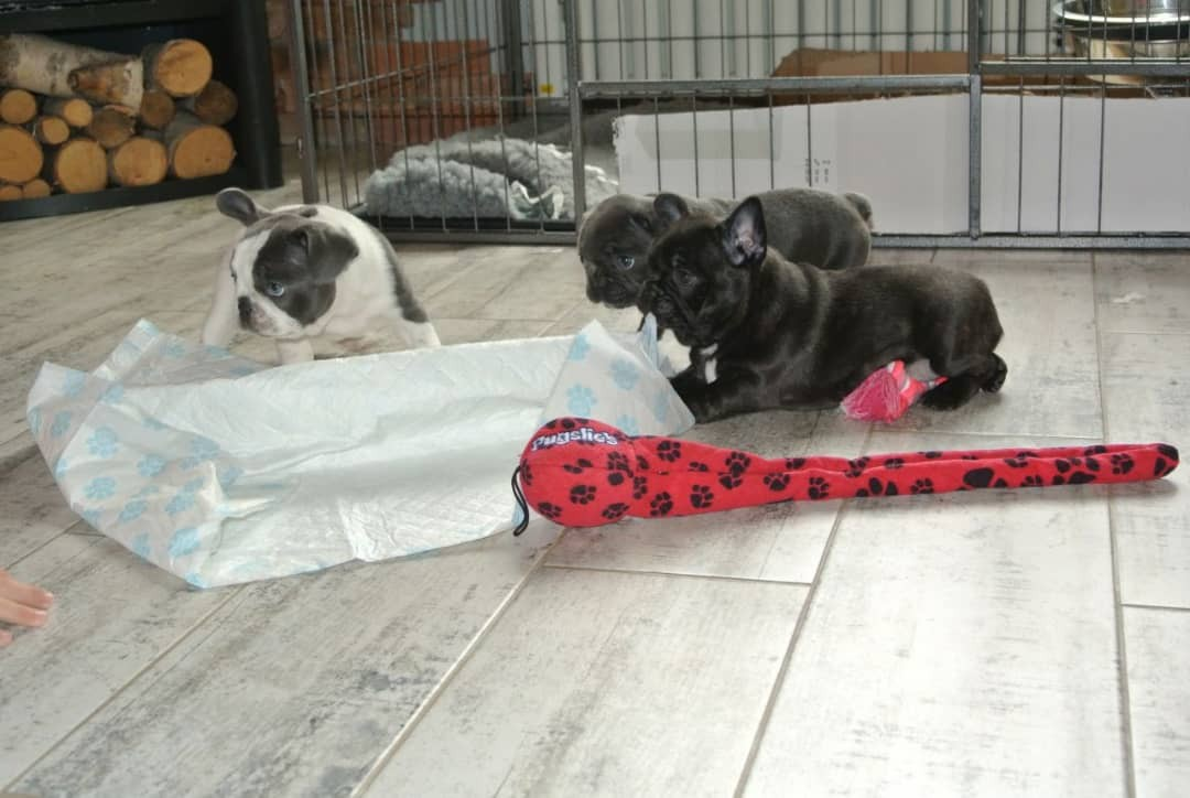 french bulldog puppies for sale ny french bulldog puppies for sale new york ny 289946 9080