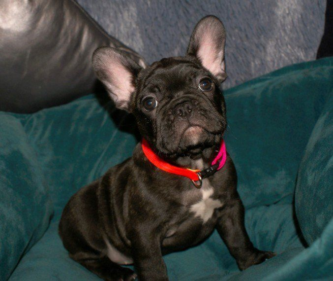 french bulldog for sale in pa french bulldog puppies for sale harrisburg pa 290857 2874