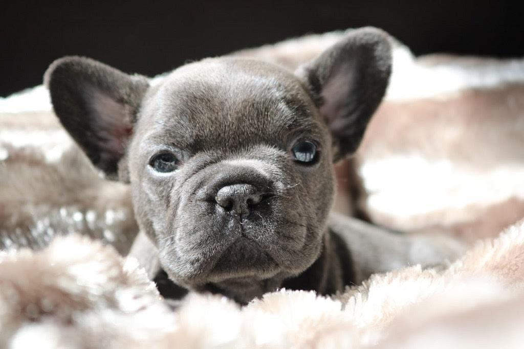 french bulldog utah french bulldog puppies for sale utah avenue south 5708