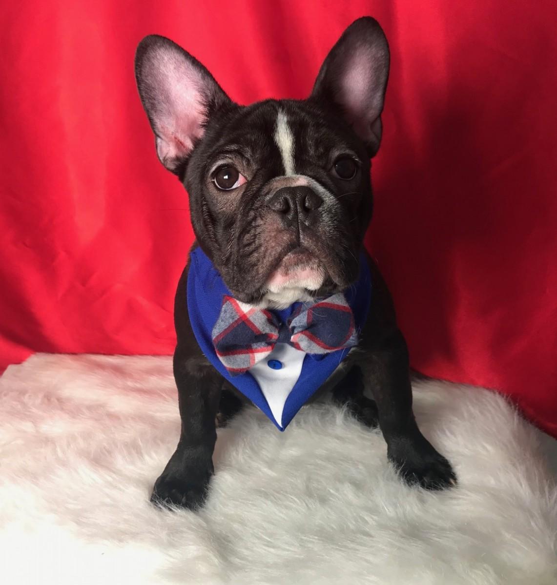 French Bulldog For Sale in Rhode Island (17)   Petzlover