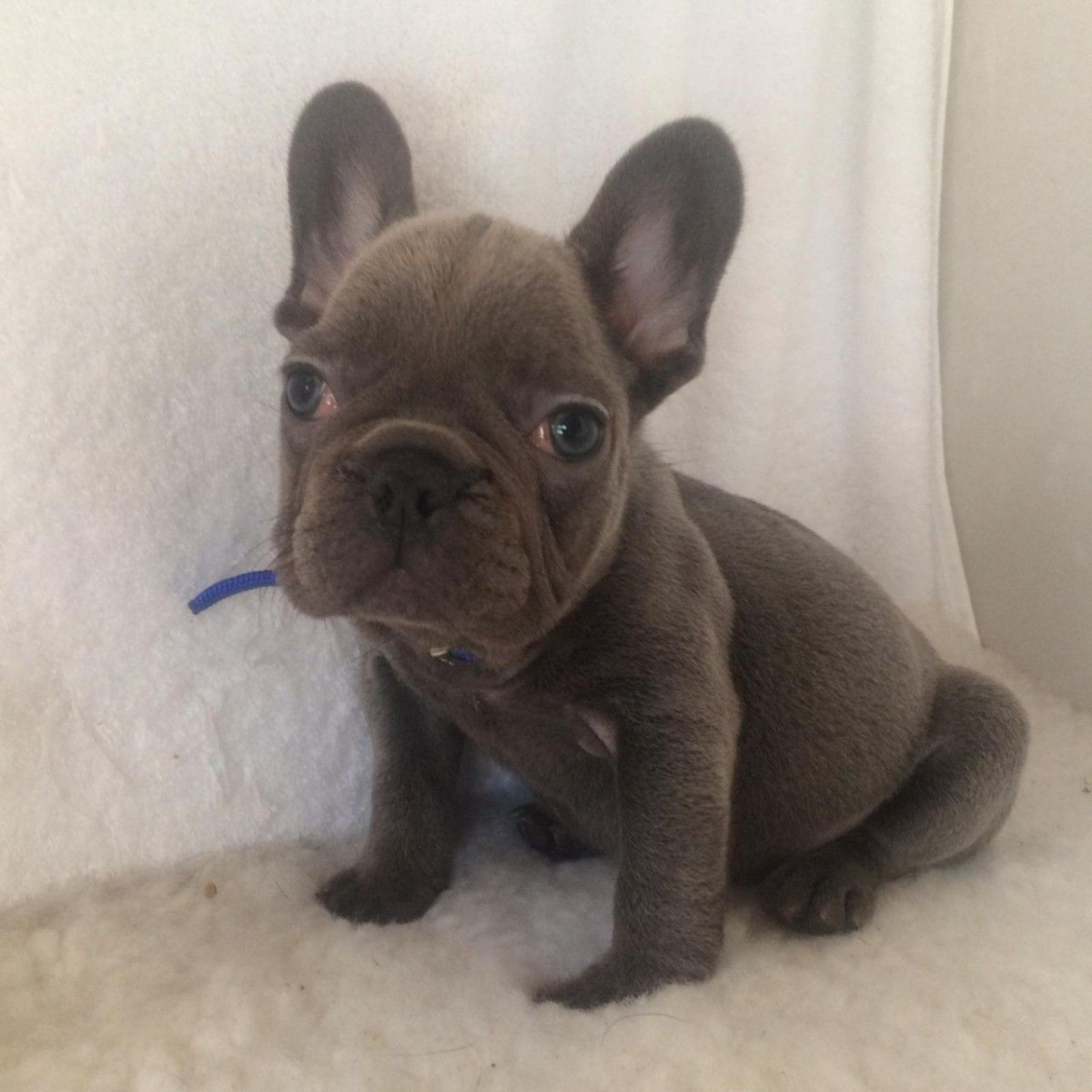 French Bulldog Puppies For Sale | Columbus, OH #291836