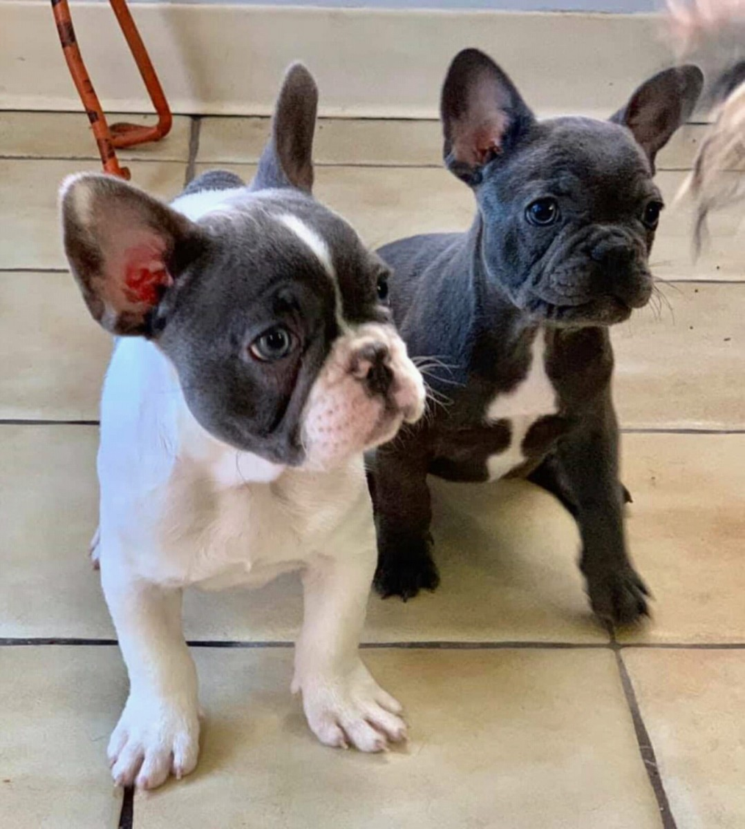 french bulldog for sale new york