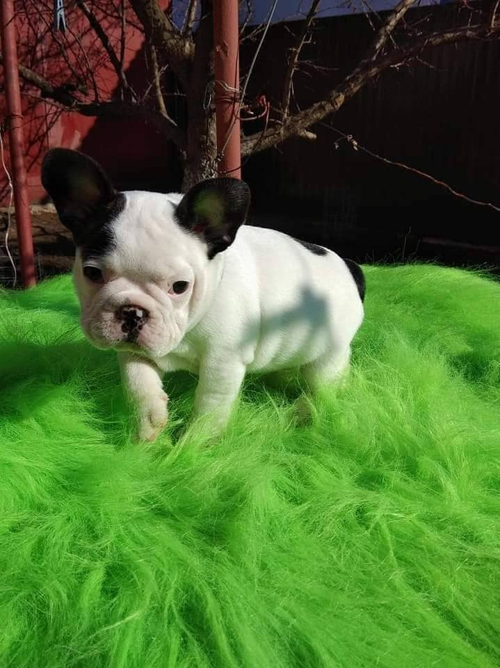 french bulldog puppies for sale ny french bulldog puppies for sale new york ny 297957 5790