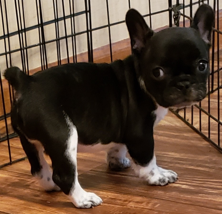 French Bulldog Puppies For Sale Pulaski Tn 306819