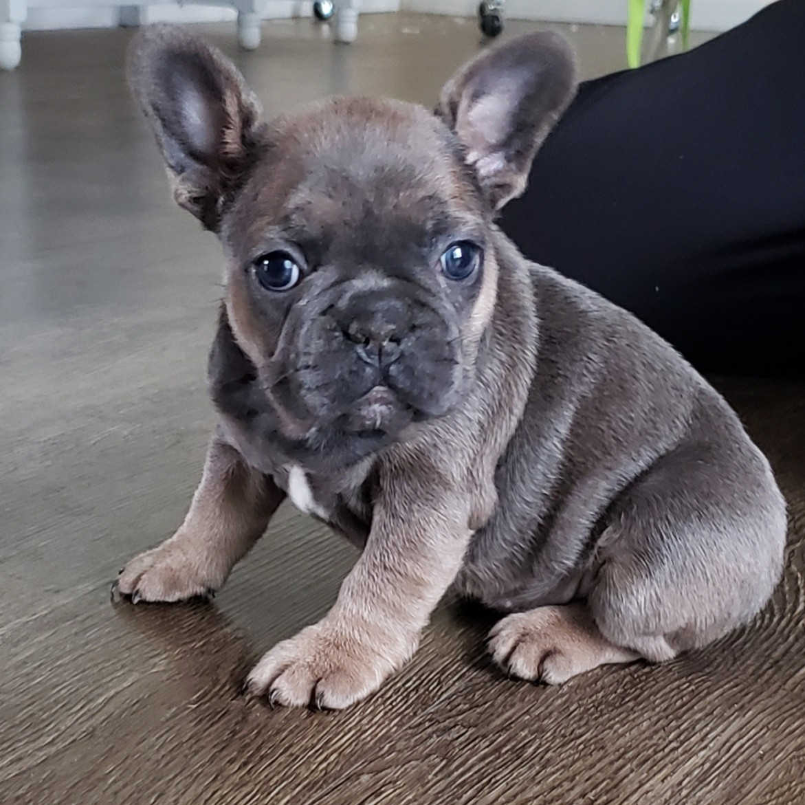 PRICES REDUCED. French Bulldog Pups For Sale | Wales UK