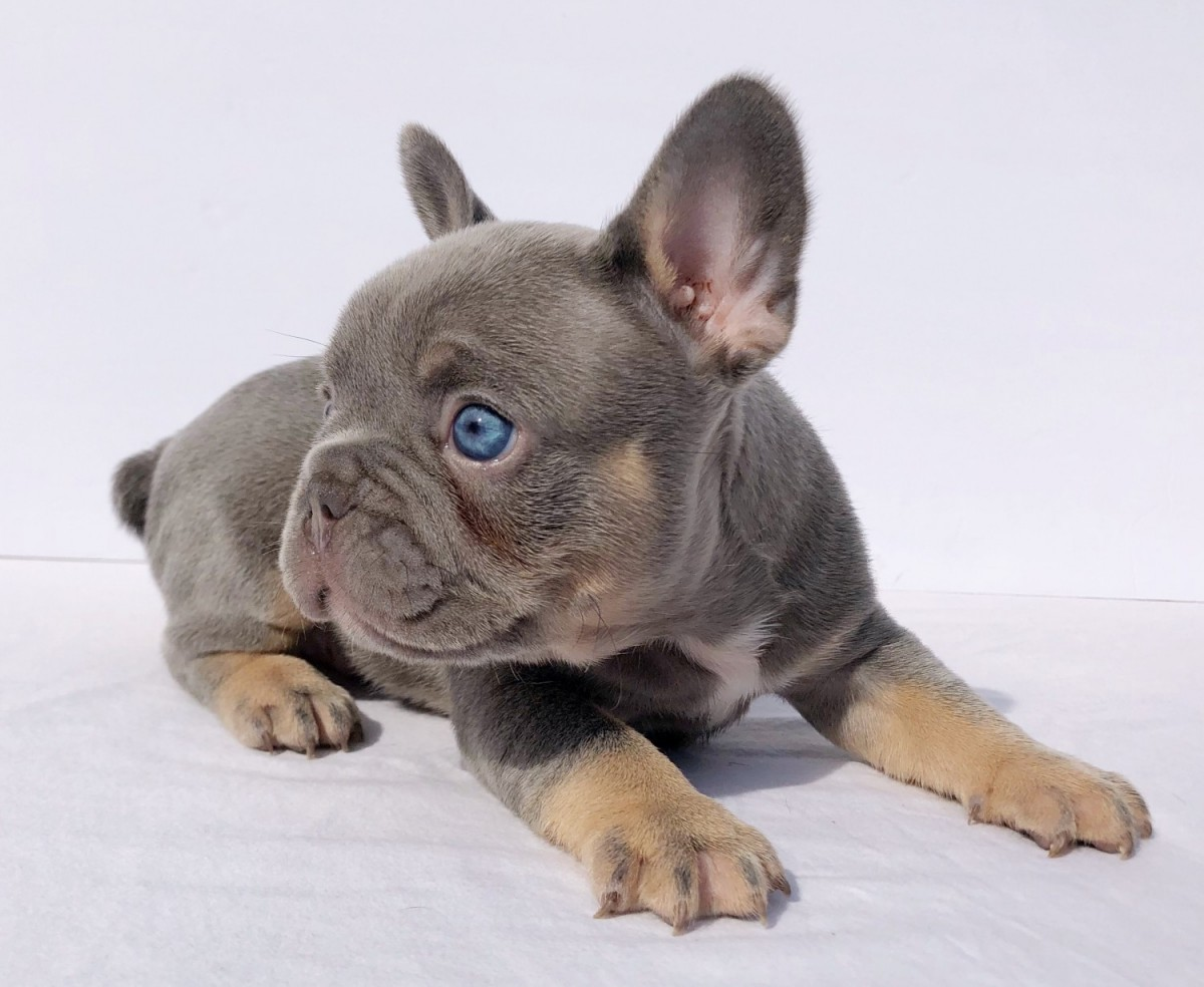 Healthy French Bulldog Puppies Available | For Sale In Tasmania Australia