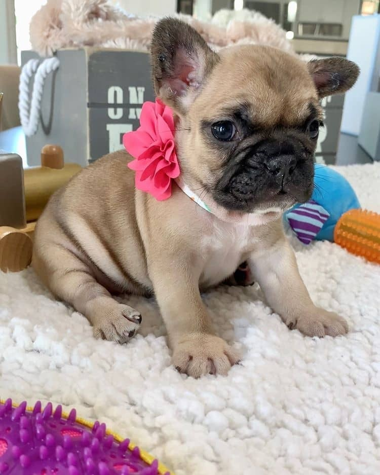 French Bulldog Puppies For Sale | New York, NY #328022