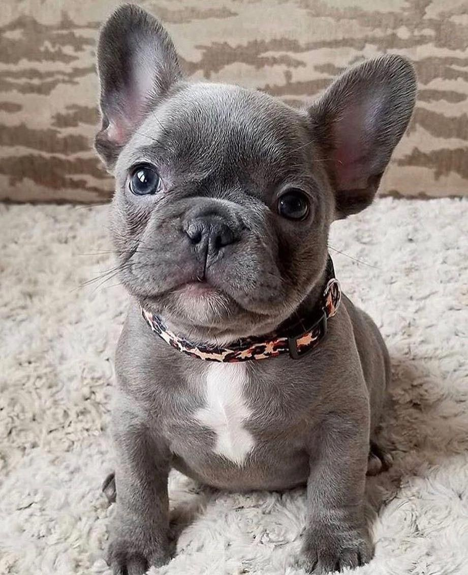 French Bulldog Puppies For Sale | Sweden