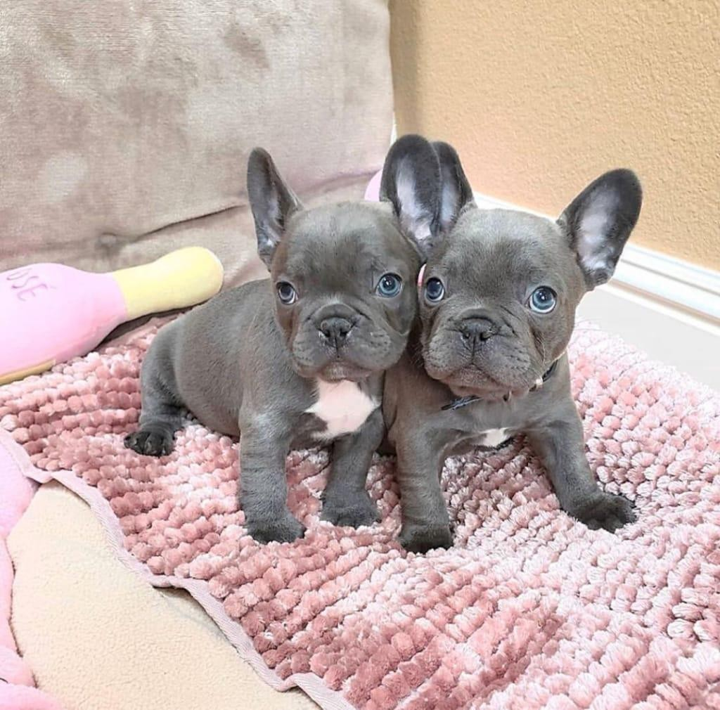 French Bulldog Puppies For Sale | New York, NY #337034
