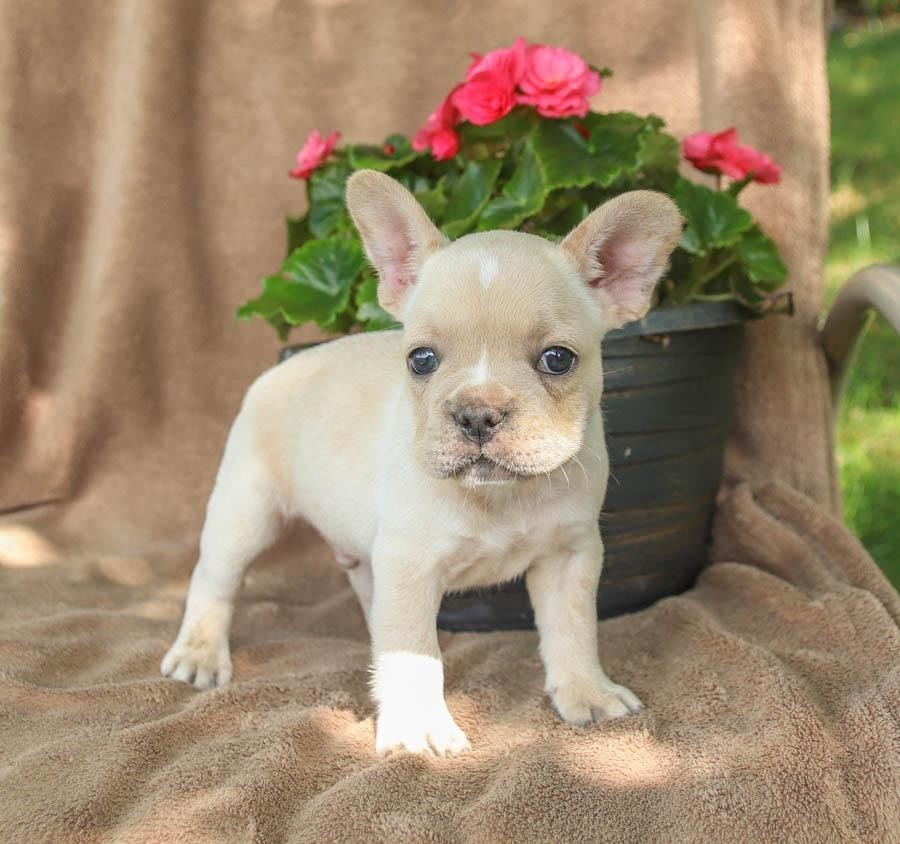 French Bulldog Puppies For Sale | New York State Thruway ...