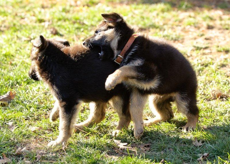 German Shepherd Puppies For Sale Jacksonville Fl 76167