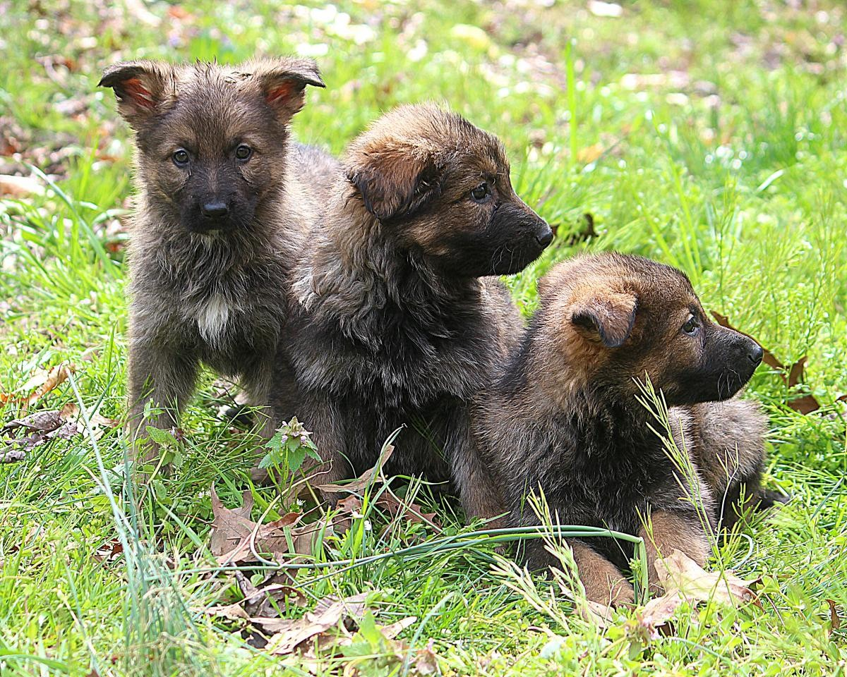 German Shepherd Puppy for Sale | Dogs & Puppies for Sale In Russia