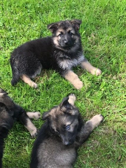 German Shepherd Puppies For Sale Reynoldsville Pa 234189