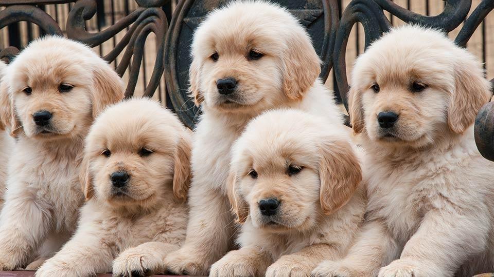 Golden Retriever Puppies For Sale Online In Italy
