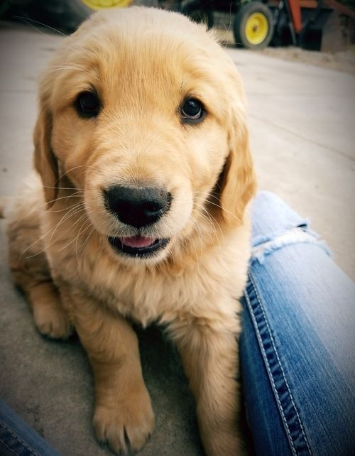 golden retriever puppies for sale in kentucky golden retriever puppies for sale louisville ky 295526 7042