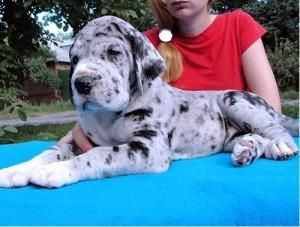 Great Dane Puppies For St Louis