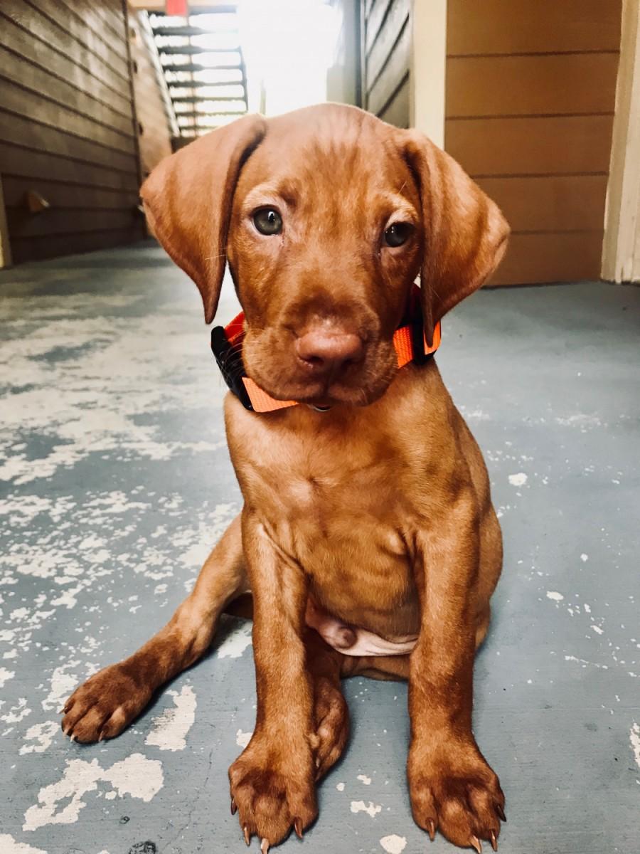 Vizsla Puppies For Sale New Brunswick Canada