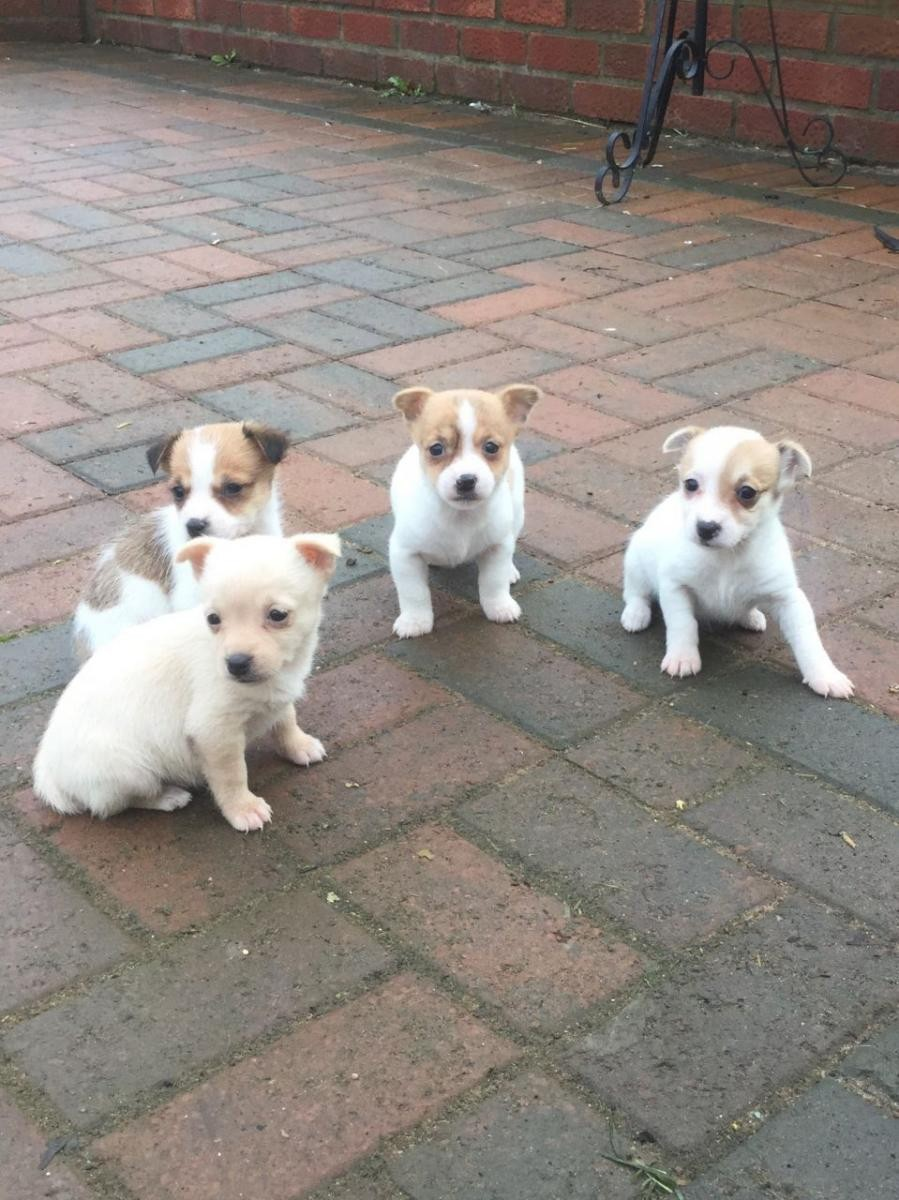 jack russell terrier mass jack russell terrier puppies for sale springfield ma 8764