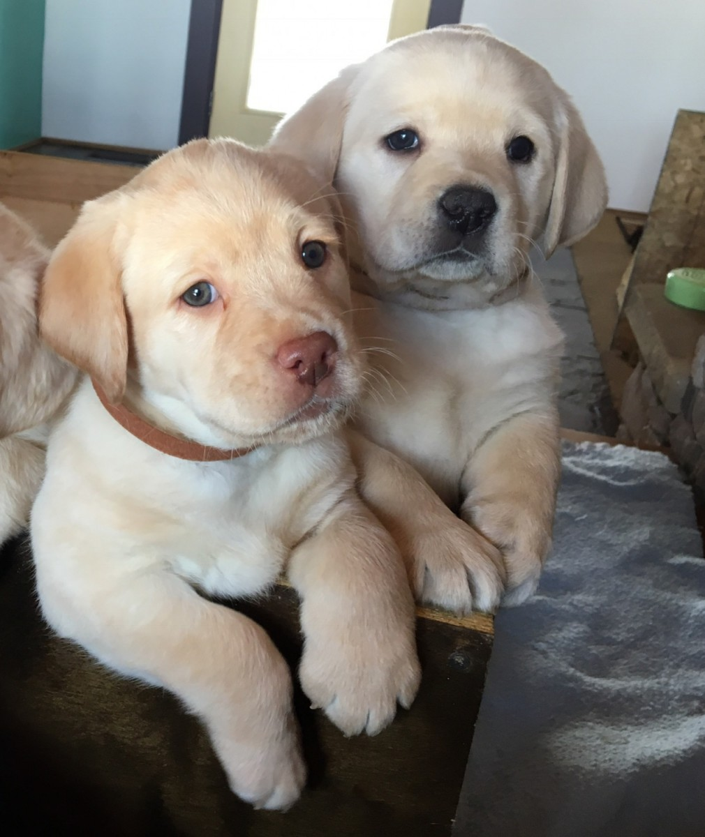 Buy Labrador Puppies For Sale In United Arab Emirates