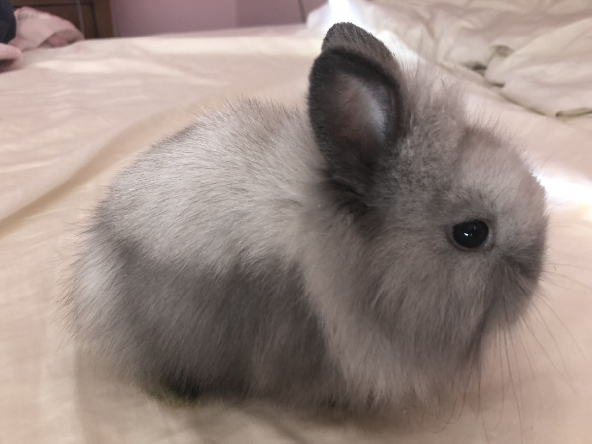 Lionhead Rabbit Rabbits For Sale Temecula Ca 264319