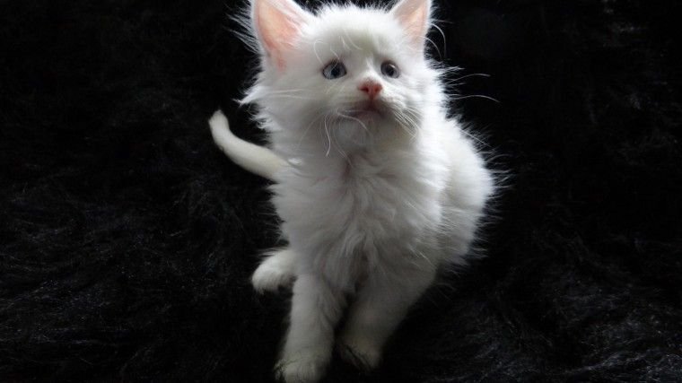 maine coon kittens for sale washington