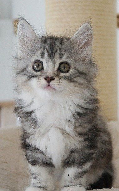Maine Coon Cats For Sale North Charleston Sc 214381
