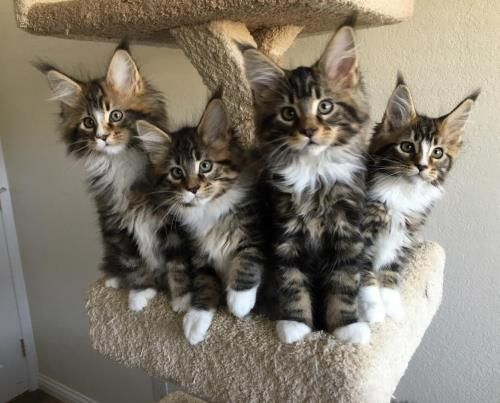 Maine Coon Cats For Sale Central Minneapolis Mn 292325