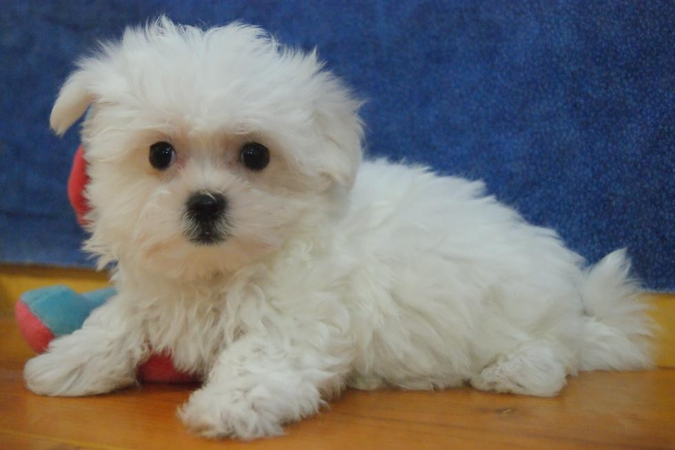 maltese puppy for sale in illinois maltese puppies for sale elgin il 69825 petzlover 9056