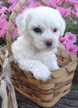 Maltese Puppies For Sale Rochester Ny 157386 Petzlover