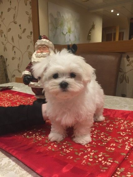 maltese puppies for sale in sc maltese puppies for sale north myrtle beach sc 192963 2415