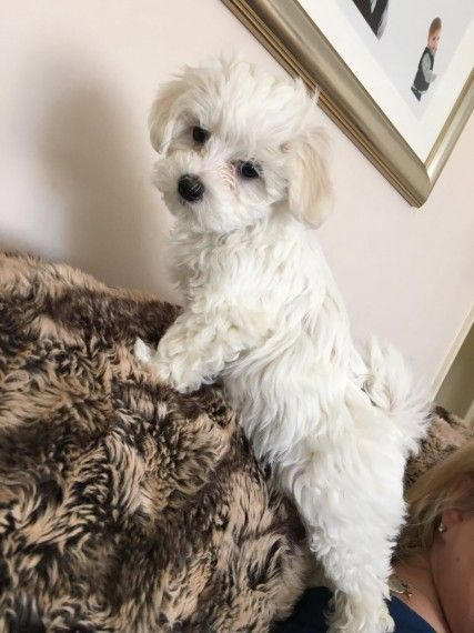 maltese puppy for sale in tn maltese puppies for sale cumberland furnace tn 210647 6125