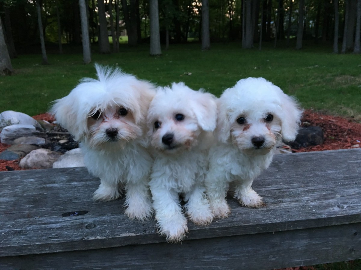 maltese breeders in michigan maltese puppies for sale chesterfield mi 219190 2210