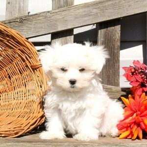 maltese puppies for sale in oklahoma maltese puppies for sale central oklahoma city ok 244868 3665