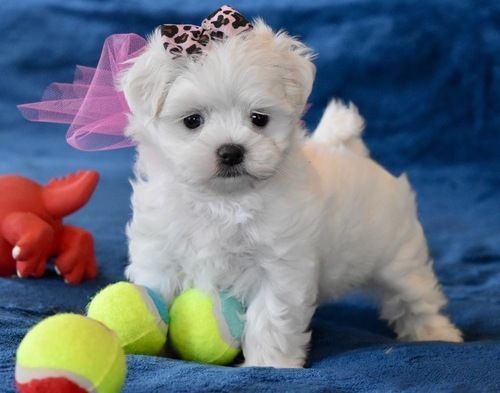 maltese puppies for sale in sc maltese puppies for sale north charleston sc 108937 9097
